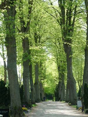 Lindenallee auf dem Neuen Friedhof; Foto: Ralph Hennings